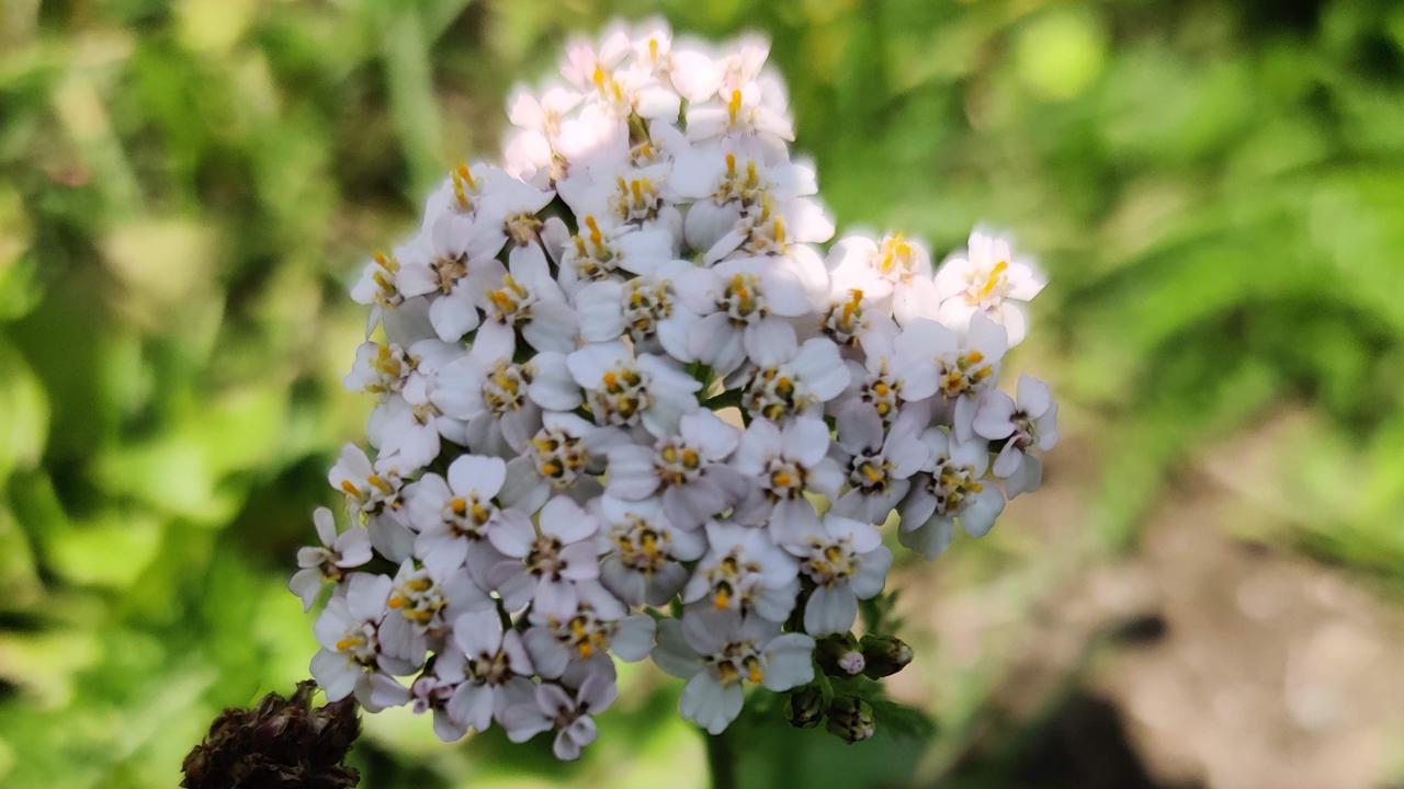 Sommité fleurie d'achillée millefeuille