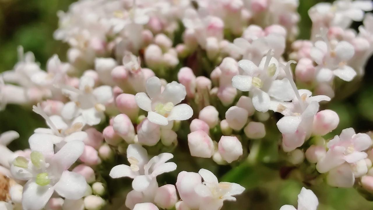 Fleurs de valériane