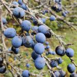 Prunelles dans la campagne florennoise